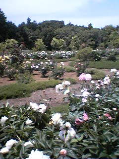 Tsukuba Peony Garden