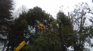 Tree-Butchering Crews At Work On Tsukuba's Winter Greenery