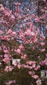 Plum blossoms In Tsukuba's Botanical Garden - Feb. 4, 2009