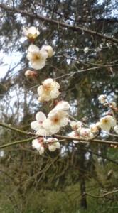 Plum Blossoms In Tsukuba's Woods