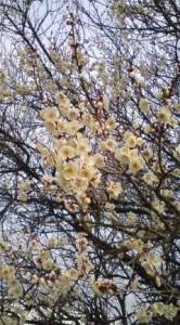Plum Blossoms In Tsukuba - Feb. 4, 2009