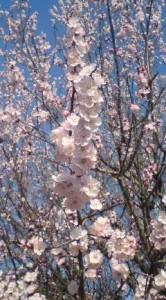 anzu blossoms in Tsukuba