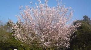 Apricot (anzu) blossoms in Tsukuba