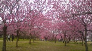 Peach Trees In Bloom In Koga
