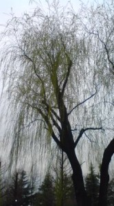 Weeping Willow In Tsukuba