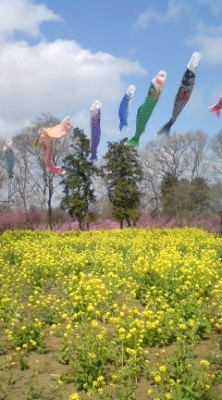 Carp streamers and NANOHANA (rape-blossoms) at the Koga Peach Garden