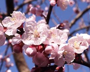 Anzu blossoms