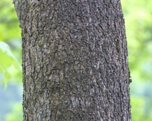 Bark of the anzu tree