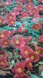 Fallen camellia (tsubaki)