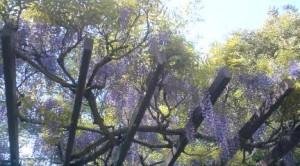 Wisteria (fuji) in Matsushiro Park in Tsukuba