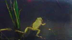 Amagaeru (Tree frog)