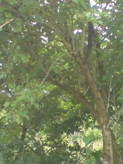 A Mulberry Tree In Tsukuba