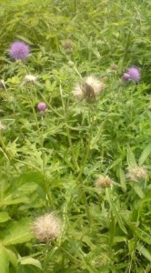 Thistles Getting Fuzzy