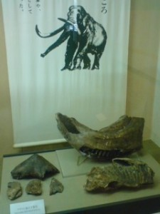 Localy found Nauman-Zo fossil on display at the Sakura History Museum
