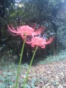 Higan-bana (spider lillies) in Tsukuba`s Higashi-Oka 2009