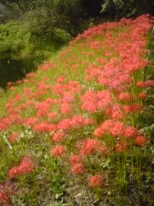 Higan-Bana at Tsukuba`s Botanical Garden 2009