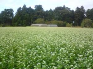 Soba field in Saiki, Tsukuba (2009)