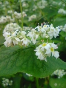 Close-up of Buckwheat flowers in Saiki, Tsukuba 2009