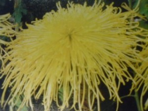 The yellow KIKU which the Emperor Ninmyo loved