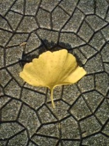 Gingko leaves are fan-shaped