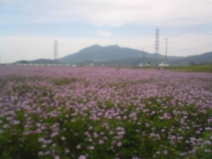 Renge so ( milk vetch) growing in what will soon be rice fields, in Oda, Tsukuba