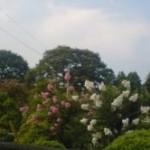 Sarusubei trees in Tsukuba`s Sasagi neighborhood