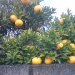 Citrus fruit along the road in Tsukuba in December