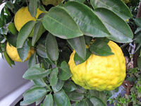 Large and bumpy skinned yuzu (citrons) weighing down a tree