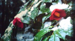 A classic Japanese winter image- camelias (tsubaki) covered in snow