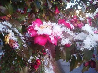 Snow-covered SAZANQUA (after the first snow-fall in Tsukuba of 2014)- January 19th- Matsushiro, Tsukuba