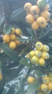 And this year, 2011, the Biwa trees are especially heavy-laden with fruit