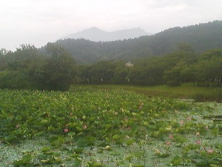 The Oike Pond in Hojo, Tsukuba with lotus flowers abloom (July 9, 2014)