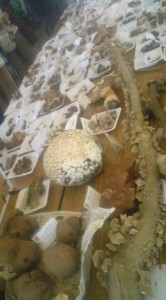 Table full of mushroom gathered from within the confines of the Tsukuba Botanical Garden