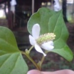 The DOKUDAMI plant