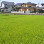 The slender white form of an egret among the deep greenery odf a paddy field in Tsukuba`s Matsushiro neighborhood