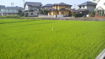 The slender white form of an egret among the deep greenery odf a paddy field in Tsukuba`s Matsushiro neighborhood