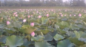Lotus blossoms in bloom at the Oike Pond in Hojo, Tsukuba (pink blossoms indicate that the roots are not of yhr edible sort)