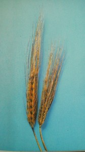 The variety of barley used to make MUGI CHA- ROKUJO MUGI (六条麦)-, six-tiered barley