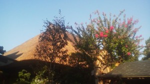 A SARUSUBERY (crape myrtle) tree blooming in front of a thatched roof house in Saiki, Tsukuba (August 2012)