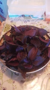 Red shiso (AKAJISO) leaves harvested from a  garden in Tsukuba in August