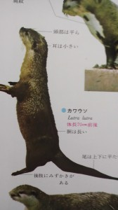 The Japanese river otter (Nihon kawa uso), officially declared extict on Aug. 28th 2012- thirty three years after the last confirmed sighting