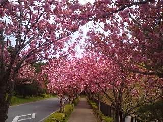 Yaezakura in Tsukuba (April 15th 2013)