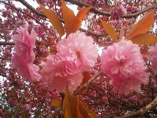 A variety of DOUBLE-FLOWERED CHERRY (YAEZAKURA) blooming in Tsukuba`s Techno-Park Sakura neighborhood (April 15th 2013)