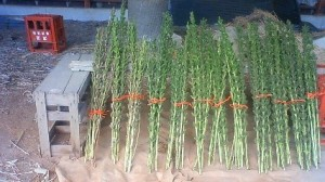 Sesame plants, bundled up and propped up to dry (Tsukuba-2012)