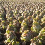 Cabbage field in Hakke, Tsukuba (January  10, 2013)