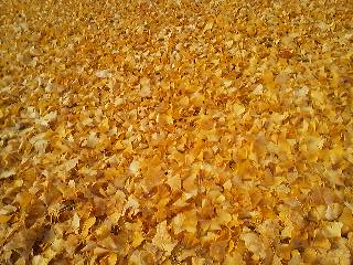 A carpet of ginkgo leaves in Matsushiro, Tsukuba (Nov. 26th 2013)