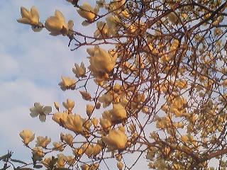 Magnolia bloosoms-March 27th 2014- in Matsushiro, Tsukuba