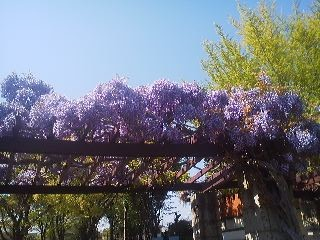 Wisteria in full bloom in Tsukuba on April 24th 2014