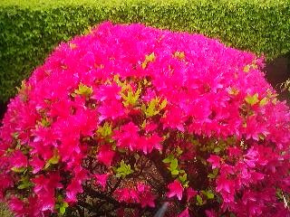 An azalea (TSUTSUJI) bush bursts into living color in behind my house in Tsukuba April 30th 2014