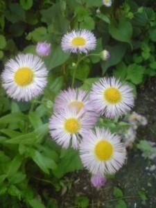 HARUJION in my old garden in Konda, Tsukuba